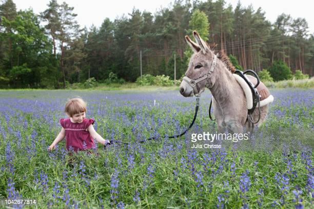 girl leading donkey through field of wildflowers - anführen stock-fotos und bilder