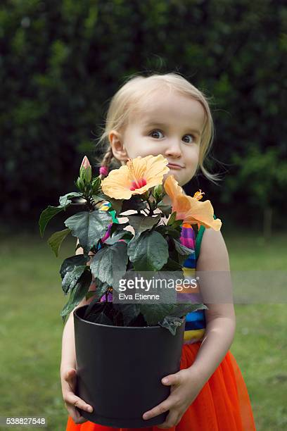 girl (3-4) lifting heavy potted hibiscus plant - pot plant stock pictures, royalty-free photos & images