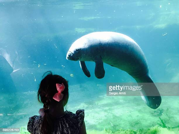 girl looking at a dugong in aquarium - dugong stock pictures, royalty-free photos & images