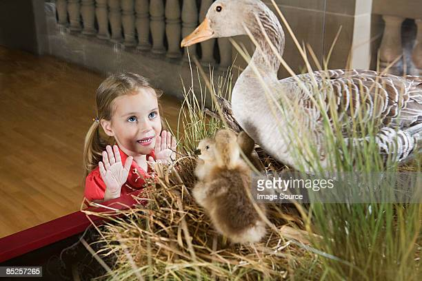 Girl looking at stuffed ducks in a museum