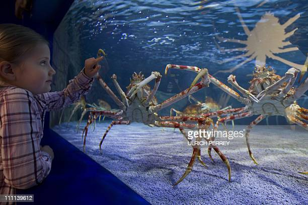 A girl looks at a great spider crab living in a 20000 literbasin at the Sea Life aquarium in Timmendorfer Strand northern Germany on March 30 2011...
