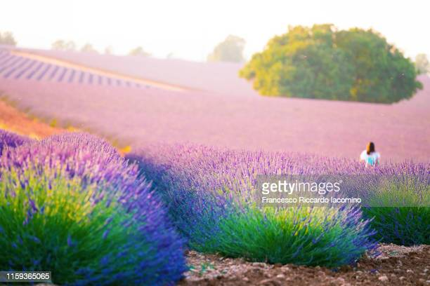 girl lost in the fields of valensole plateau, lavender flowers at sunset . provence, southern france. - francesco riccardo iacomino france foto e immagini stock