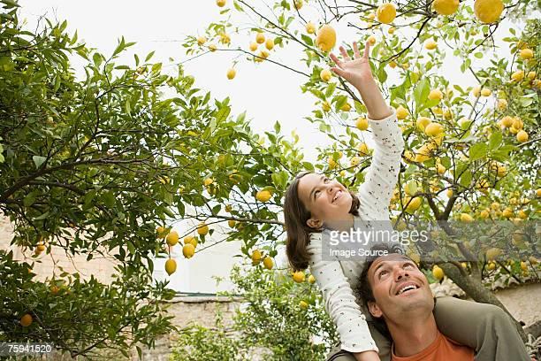 Girl on fathers shoulder carrying picking lemons