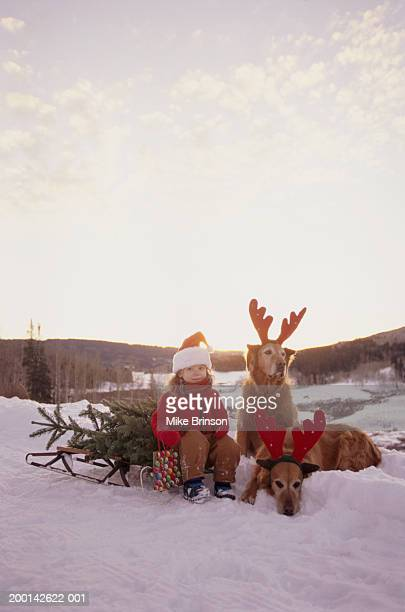 girl (1-3) on sled with golden retrievers - images stock photos and pictures