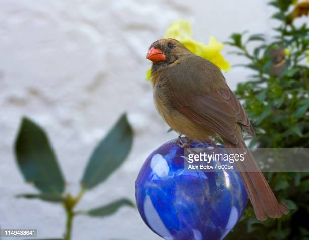 girl on the ball chapter - blue cardinal bird stock pictures, royalty-free photos & images