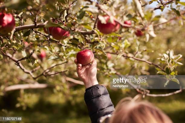 girl picking apples from tree - heshphoto - fotografias e filmes do acervo