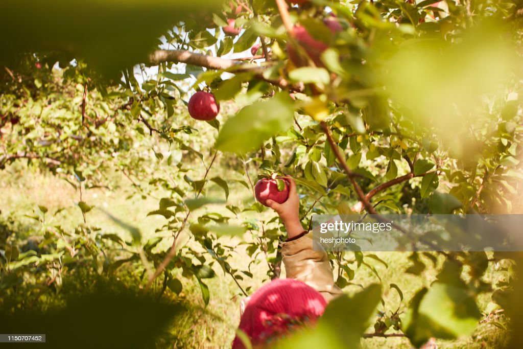 Girl picking apples from tree : Stock Photo