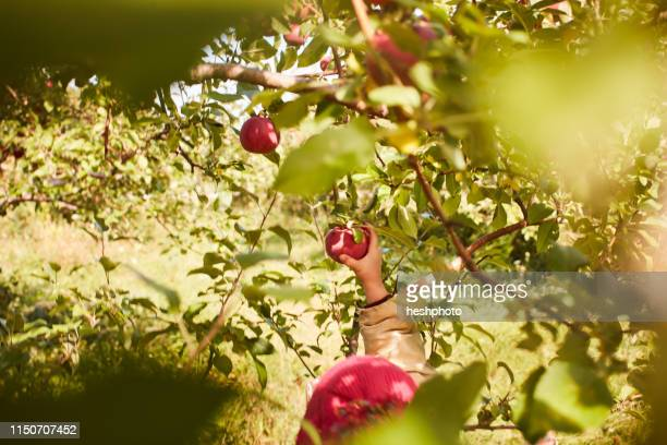 girl picking apples from tree - heshphoto stock pictures, royalty-free photos & images