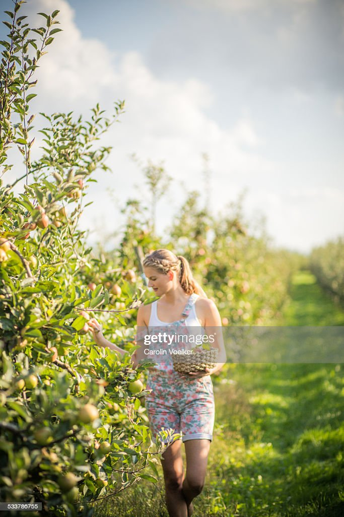 Girl picking apples : Foto stock