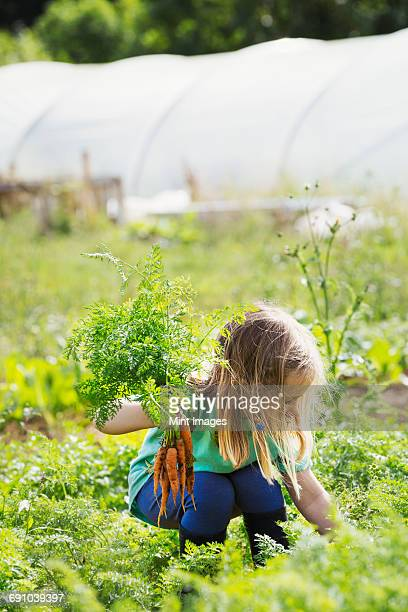 A girl picking carrots in a vegetable patch.