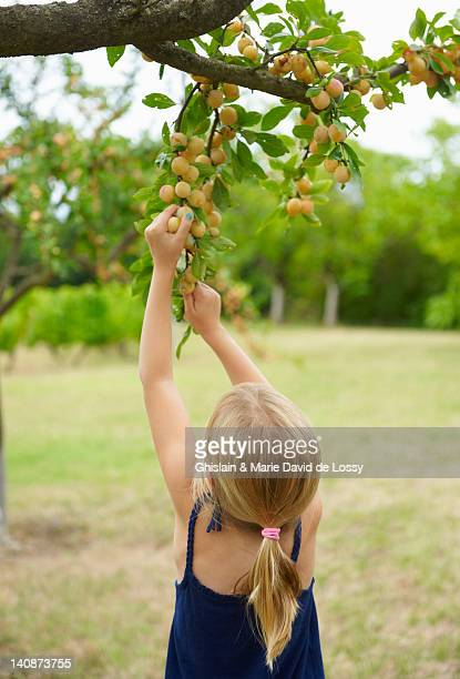 girl picking fruit off tree - saint ferme stock photos and pictures