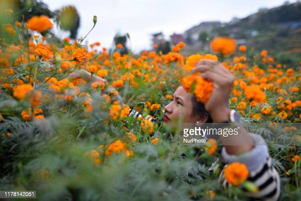 A Girl picking marigold flower for the Tihar Festival or festival of lights and festival of flowers at Kathmandu Nepal on Friday October 25 2019
