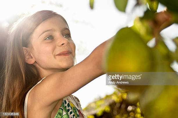 Girl picking pears from a tree