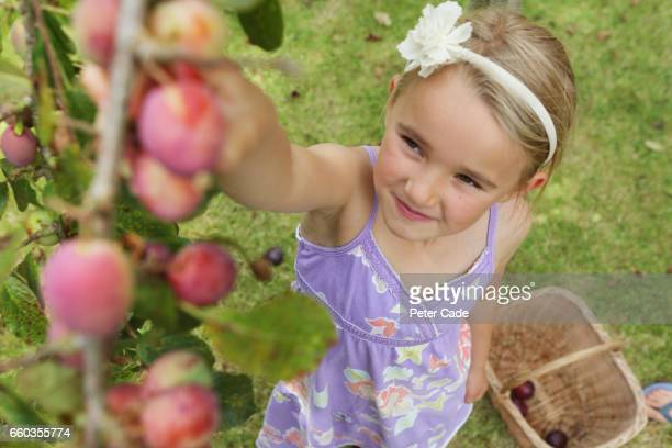 Girl picking plums from tree