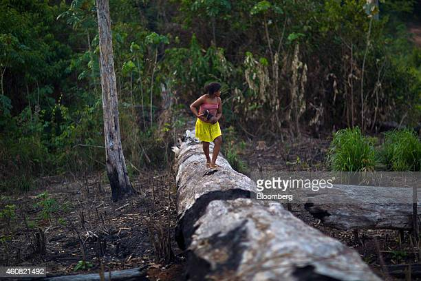 A girl picks brazil nuts on a burnt brazil nut tree in the southern part of the Amazonian state of Para near Anapu Brazil on Tuesday Dec 16 2014 The...