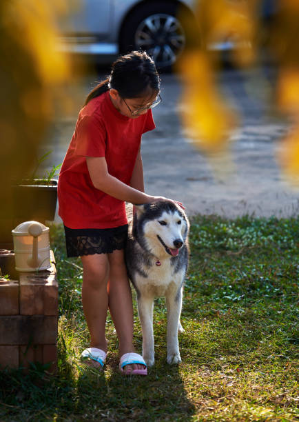 A girl playing with a Siberian husky in the yard