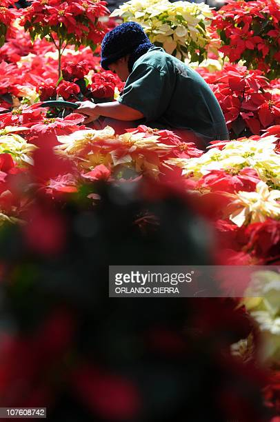 A girl sells Ponsettias or Noche Buena a flower commonly used in Christmas arrangements in Tegucigalpa on December 15 2010 AFP PHOTO/Orlando SIERRA
