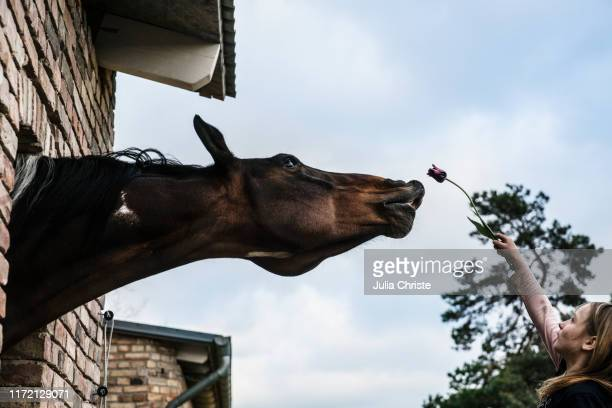 girl showing tulip to curious horse leaning out barn window - wirkliches leben stock-fotos und bilder