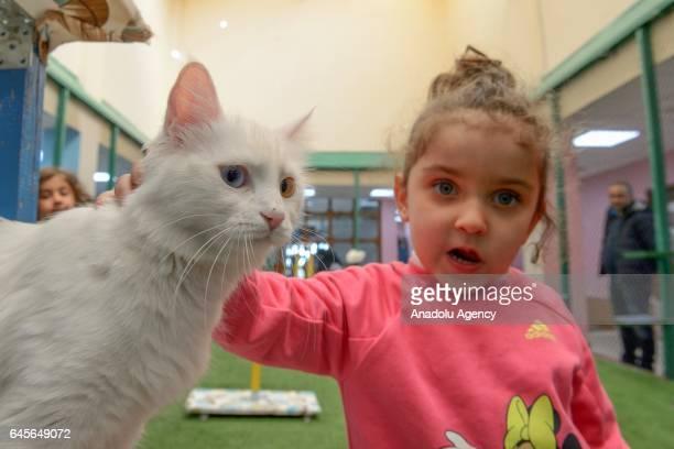A girl strokes a Van cat at Yuzuncu Yil University Van Cat Research and Practice Center in Van Turkey on February 26 2017 YYU Van Cat Research and...