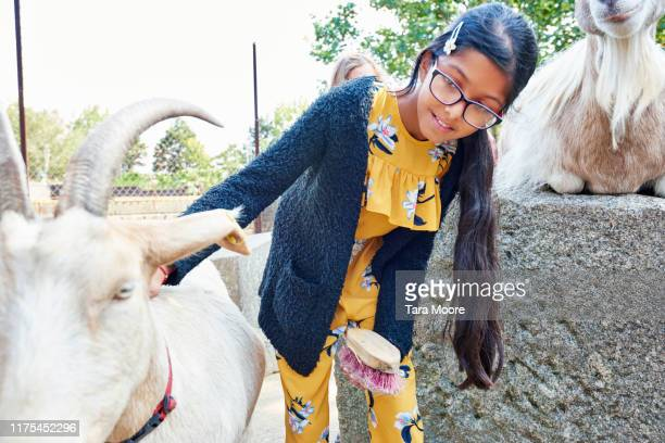 girl stroking goat at farm - animal hair stock pictures, royalty-free photos & images