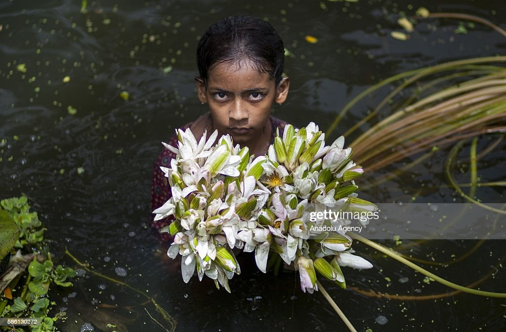Water Lily harvesting in Bangladesh : News Photo