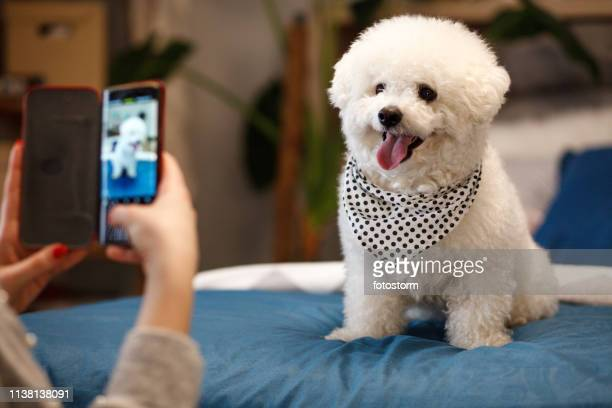 girl taking photo of her dog with smartphone - lap dog stock pictures, royalty-free photos & images