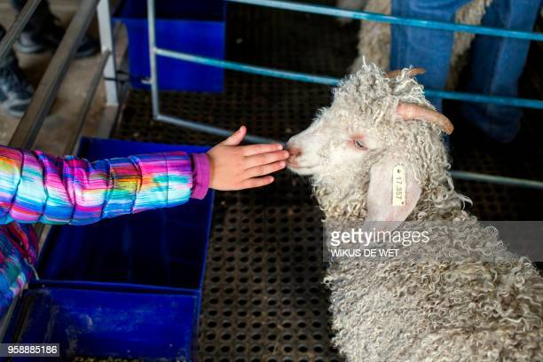 A girl touches the snout of a Angora Goat at the Nampo Harvest Day Expo outside Bothaville on May 15 2018 Nampo Harvest Day the biggest privately...