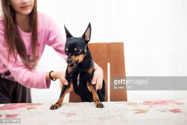 girl trying to take a grumpy dog from the table - pinscher nano foto e immagini stock