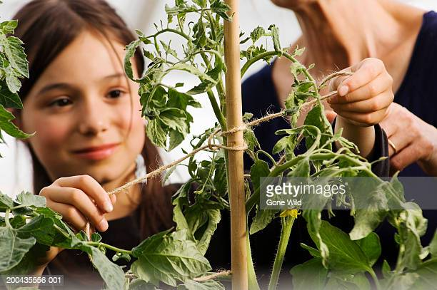 Girl (9-11) tying tomato plant to cane under guidance of grandmother