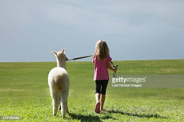 girl walking alpaca - alpaga photos et images de collection