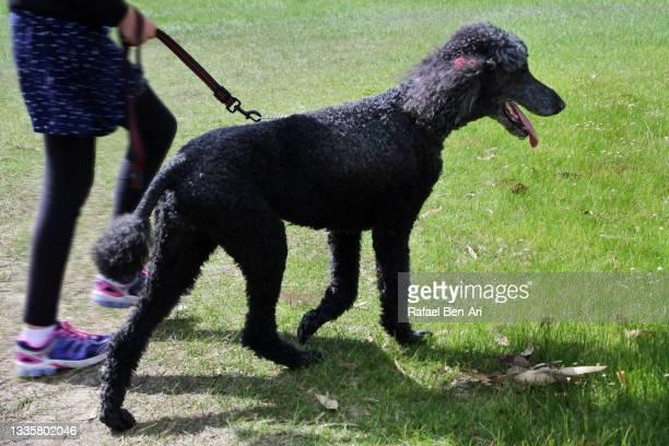 girl walking german poodle in the park - rafael ben ari - fotografias e filmes do acervo