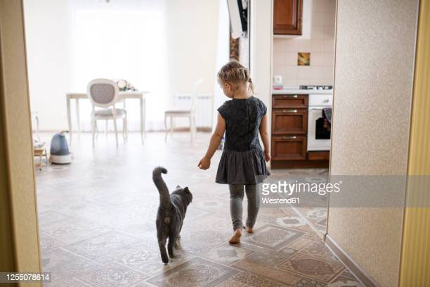 girl walking with british shorthair cat at home - british shorthair cat stock pictures, royalty-free photos & images