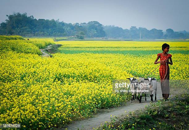 girl walking with goat in field - bangladeshi flowers stock pictures, royalty-free photos & images