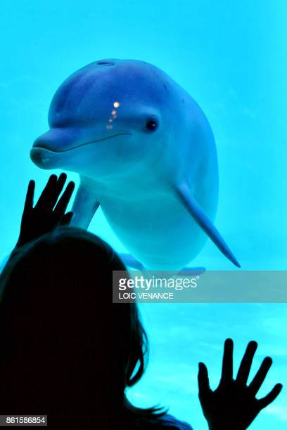 A girl watches a dolphin at the dolphinarium of La Planete Sauvage zoological park in PortSaintPere western France on October 14 2017 According to a...