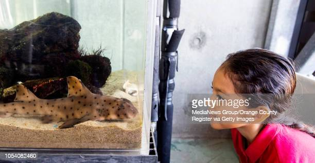 A girl watches one of three horn sharks in a tank at the Ocean Institute in Dana Point CA on Friday October 12 2018 The center received a $1 million...