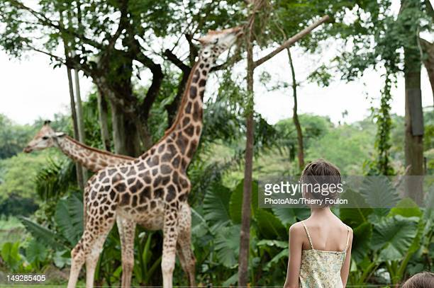 Girl watching giraffes at zoo