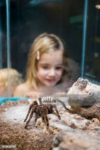 girl (4-5) watching tarantula in zoo - ugly spiders stock photos and pictures