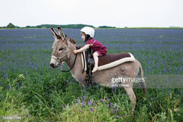girl wearing helmet, riding donkey in rural field with flowers - donkey stock pictures, royalty-free photos & images