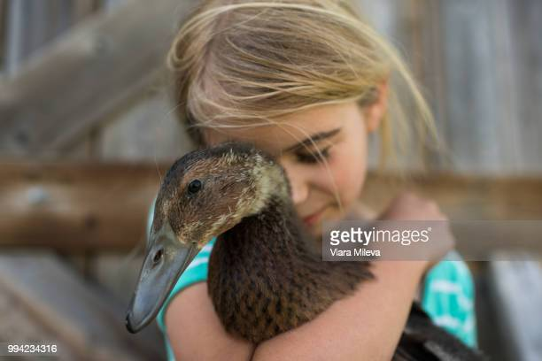 girl with eyes closed hugging farm duck - duck bird stock photos and pictures