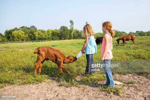 girls bottle feeding brown calf in pasture - calf stock pictures, royalty-free photos & images