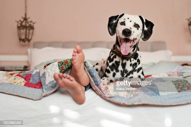 girls feet peeking out from under blanket, dalmatian dog on top of bed - under tongue stock pictures, royalty-free photos & images