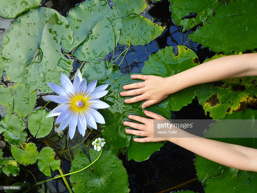 Girls hand on lily pad with white lotus lily stock photo getty images girls hand on lily pad with white lotus lily stock photo izmirmasajfo