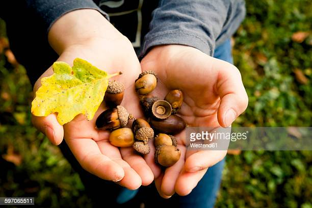 Girl's hands holding acorns