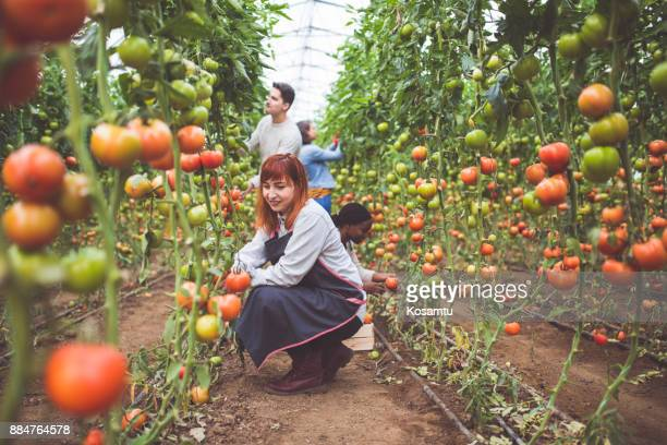 girls picking fresh tomatoes - agricultural occupation stock pictures, royalty-free photos & images