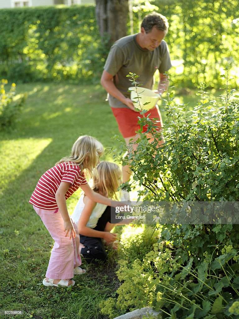 Girls picking gooseberries with their father Sweden. : Stock Photo