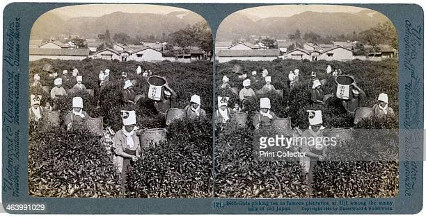 Girls picking tea on the famous plantation at Uji, Japan, 1904. Stereoscopic slide.