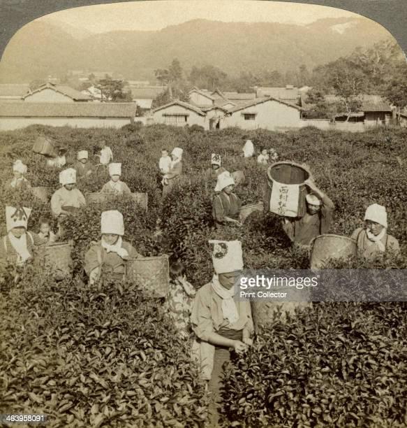 Girls picking tea Uji Japan Stereoscopic card detail