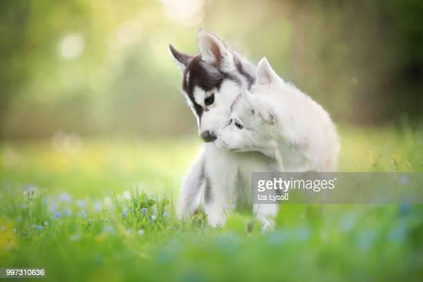 give me a kiss! - マラミュート犬 ストックフォトと画像