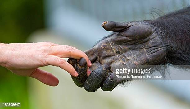 giving a hand to the chimp - primate stock pictures, royalty-free photos & images