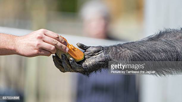 giving melon to the chimpanzee - zoo keeper stock pictures, royalty-free photos & images